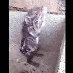 体を洗うネズミ