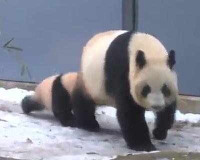 パンダの膝カックン