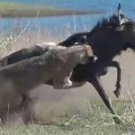 ライオンがヌ~に襲い掛かる