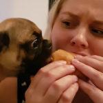 ハンバーガーを食べるパグ