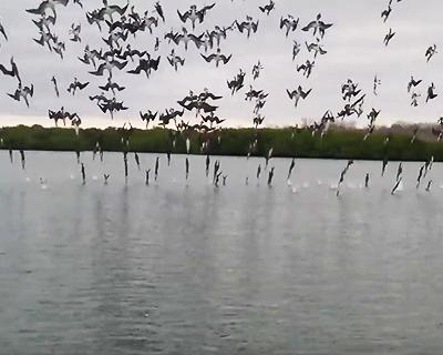 アオアシカツオドリの飛び込み