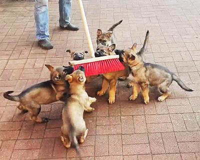 デッキブラシ好きの子犬