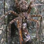ヘビを食べる巨大蜘蛛