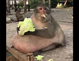 太り過ぎのサル