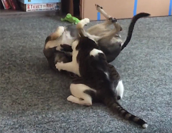ネコVS犬