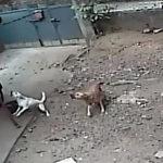 2匹の犬に怯える男性