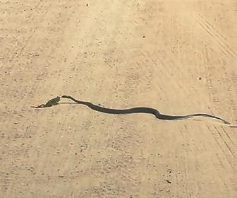 カメレオンVSヘビ