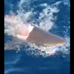 サメがサメに襲われる