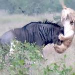 ヌーVSライオン