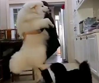 甘えん坊サモエド犬