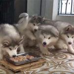 腹ペコのハスキー犬達
