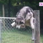 脱出するハスキー犬