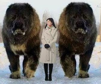 信じられないくらいに巨大な犬10選