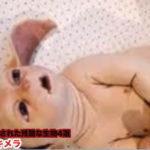 【動画】人間の手で生み出された残酷な生物4選