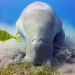 【動画】ジュゴンが海藻を食べる映像が凄い