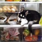 冷蔵庫が大好きなハスキー犬