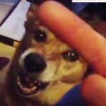 中指立てられた犬のリアクション