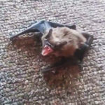 威嚇するコウモリ