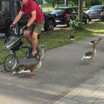 歩くカモに自転車が突っ込む