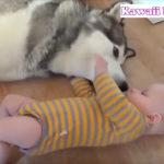 赤ちゃんとハスキー犬
