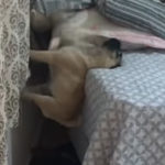 パグがベッドに登る