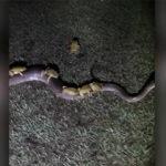 【動画】ヘビにカエルが何匹も乗っかっている衝撃映像